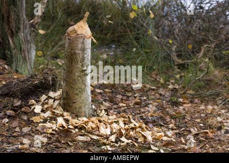 Eurasian beaver, European beaver (Castor fiber), birch felled by a beaver, Poland, Masuria - Stock Photo