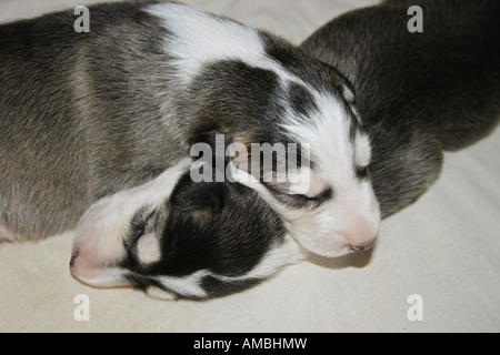 two Chart Polski dog puppies - sleeping - Stock Photo