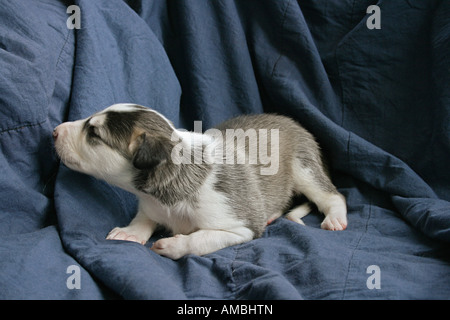Chart Polski dog puppy on blanket - Stock Photo