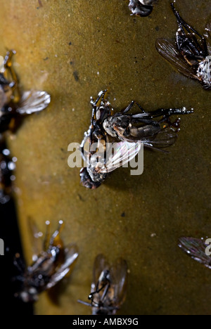 a fly trap used to capture flies they hang down and the flies are attracted get stuck to it and then die fly - Stock Photo