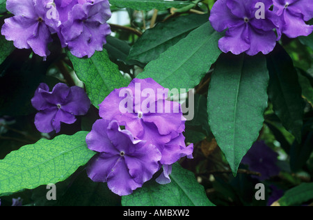 Yesterday Today and Tomorrow / Brunfelsia pauciflora - Stock Photo