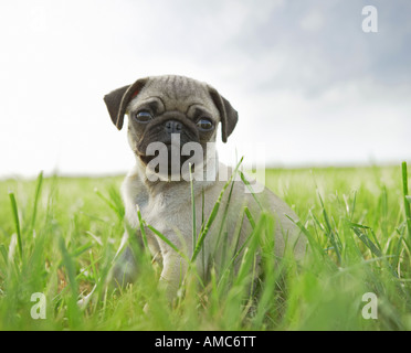 pug dog - puppy sitting on meadow - Stock Photo
