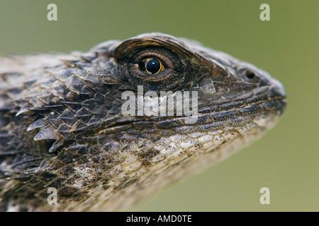 Texas Spiny Lizard - Stock Photo