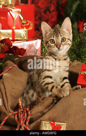 Bengal kitten in front of christmas presents Stock Photo