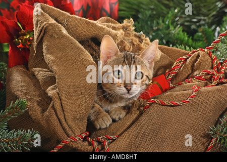 Bengal kitten in bag Stock Photo