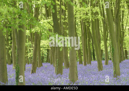 Bluebell wood in Southern England - Stock Photo
