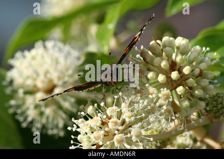 Red Admiral on Fatsia Bloom - Stock Photo