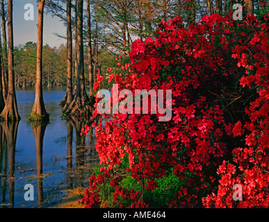 Greenfield Gardens at Wilmington in North Carolina showing a city park ablze with azaleas and other Spring blooming - Stock Photo