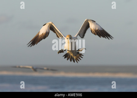 Cape gannet (Morus capensis), landing, South Africa - Stock Photo