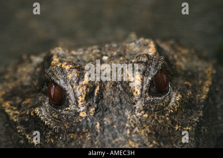 west african dwarf crocodile Osteolaemus tetraspis - Stock Photo