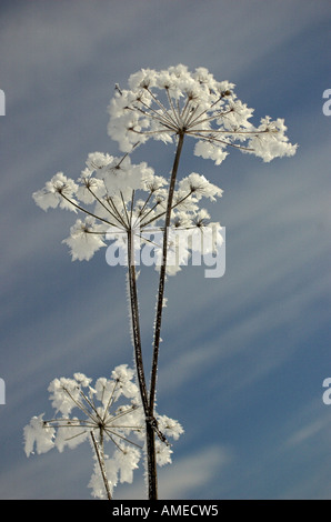 cow parsley, wild chervil (Anthriscus sylvestris), dead umbels in winter, Germany, Bavaria - Stock Photo