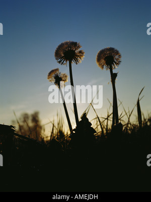 dandelions on field at sunrise - Stock Photo