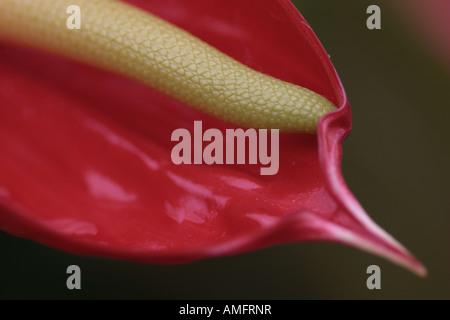 red anthurium or flamingo plant - Stock Photo