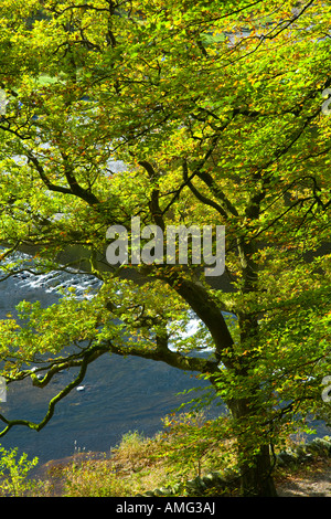 Beech trees in autumn colours on the banks of Grasmere at the weir exit of the River Rothay Lake District - Stock Photo