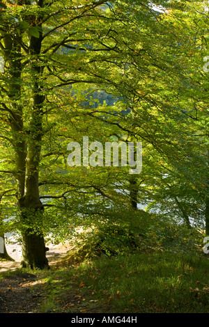 Beech trees in autumn colours on the banks of Grasmere at the weir exit of the River Rothay Lake District, Cumbria - Stock Photo