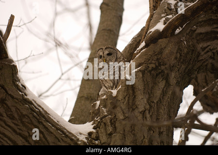 A BARRED OWL SITS IN A HOLLOWED OUT TREE - Stock Photo