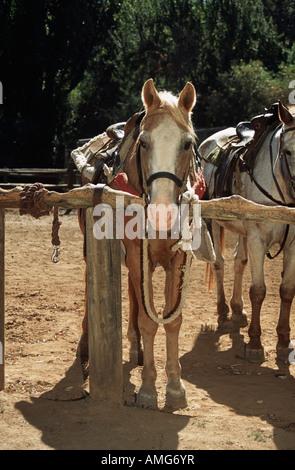 Saddled horse waiting for rider, California, USA - Stock Photo