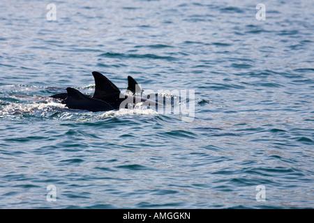 Dolphin watching, Sightseeing Boat Trip In Musandam Oman. Oman - Stock Photo