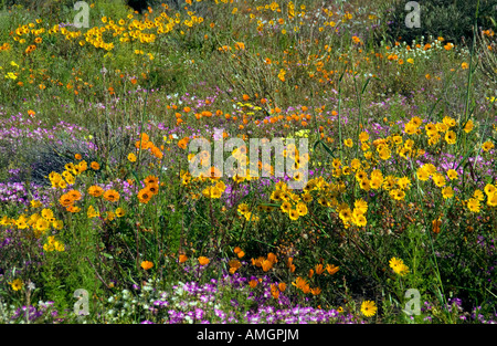 Namaqualand spring wildflowers near Kamieskroon Northern Cape South Africa - Stock Photo