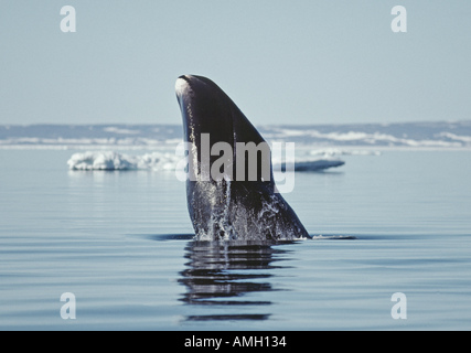 bowhead whale Balaena mysticetus Northwest Territories Canada Arctic mammal marine endangered cetacean ice cold - Stock Photo
