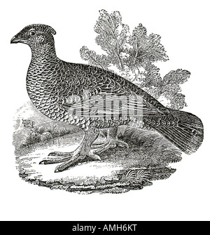 Blue Dusky Grouse Dendragapus obscurus forest dwelling native to North America Rocky Mountain Sooty Grouse fuliginosus - Stock Photo