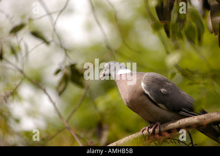 Wood pigeon in London garden - Stock Photo