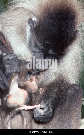 Blach Mangabey Grey Cheeked Mangabey Cerocebus albigena Lophocebus albigena female with young Affen Affenbabies - Stock Photo