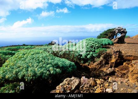 Spanien, El Hierro, El Sabinar in La Dehesa, der letzte zusammenhängende Wacholderwald der Insel.