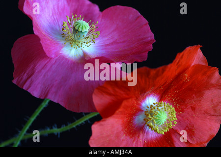 Two Shirley poppies Papaver rhoeas with black background