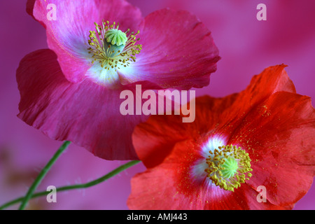 Two Shirley poppies Papaver rhoeas with pink background