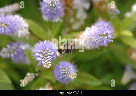 Honey bee in flight towards next flower showing collected pollen on hind leg - Stock Photo