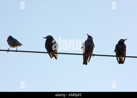 Migratory Starlings perched on a telephone wire Lambourn England - Stock Photo