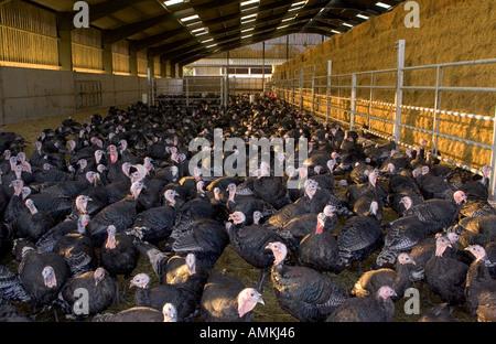 Free range Norfolk bronze turkeys return to their barn after roaming at Sheepdrove Organic Farm Lambourn England - Stock Photo