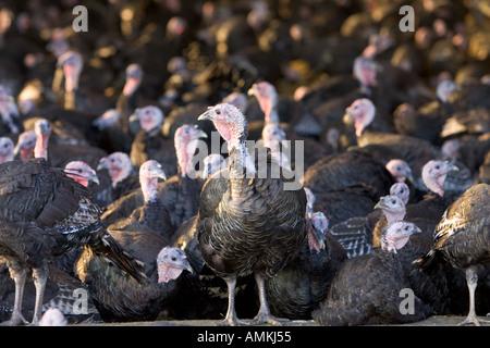Free range Norfolk bronze turkeys inside their barn after roaming at Sheepdrove Organic Farm Lambourn England - Stock Photo