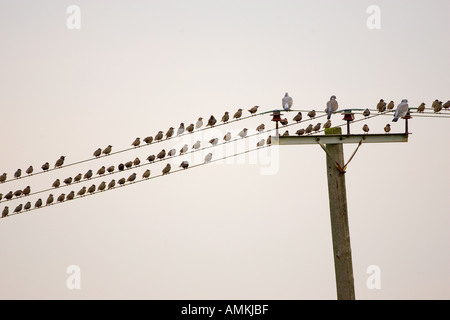 Migratory Starlings wood pigeons at Thames Estuary Avian Flu Bird Flu could be brought to Britain by migrating birds - Stock Photo