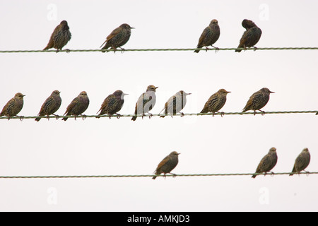 Migratory Starlings on wires at Thames Estuary Avian Flu Bird Flu could be brought to Britain from Europe by migrating - Stock Photo