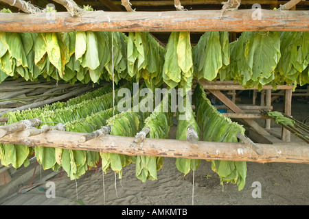 Tobacco leaves hanging out to dry in tobacco barn in central Cuba - Stock Photo