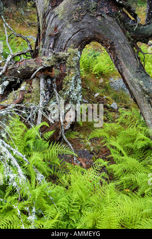 The roots of a fallen tree form an arch over ferns and a spruce tree sapling on Isle Au Haut in Maine s Acadia National - Stock Photo