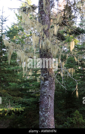 Old Man's Beard lichen hangs from a spruce tree on Isle Au Haut in Maine's Acadia National Park - Stock Photo
