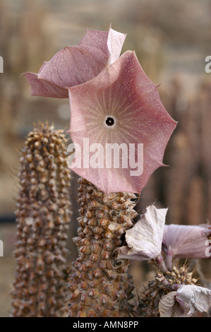 Hoodia gordonii succulent used by San Bushmen to suppress hunger - Stock Photo
