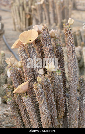 Hoodia gordonii succulent used by San Bushmen to suppress hunger - Stock Photo