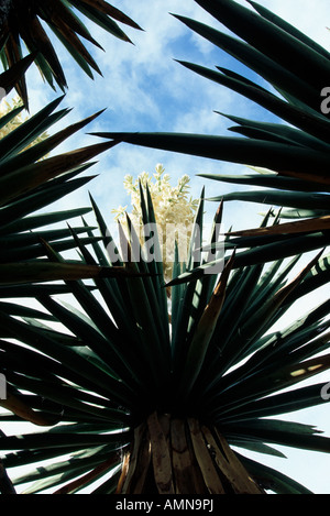 Giant Dagger Yuccas (Yucca carnerosana) in Dagger Flat, Big Bend National Park, Texas USA - Stock Photo