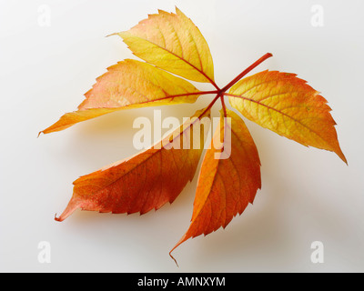 Autumn leaf. Single fall leaf against white. Natural colors and textures. - Stock Photo