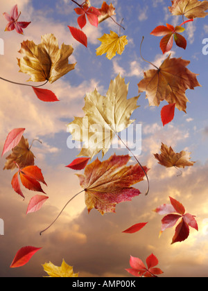 Falling autumn leaves against a sunset cloudy sky. Colorful leaves and natural colors. - Stock Photo