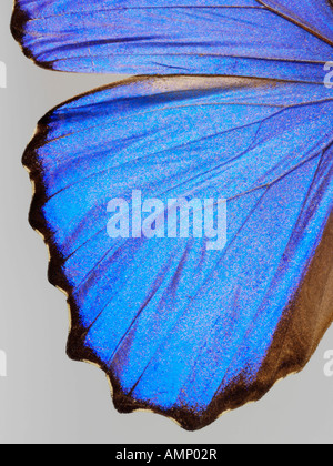 top shot plan extreme close up view of a Menelaus blue morpho (Morpho menelaus)  butterfly, opened winged, against - Stock Photo