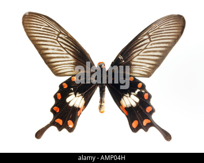 top shot plan view of a swallowtail butterfly, opened winged, against a white background in a studio - Stock Photo
