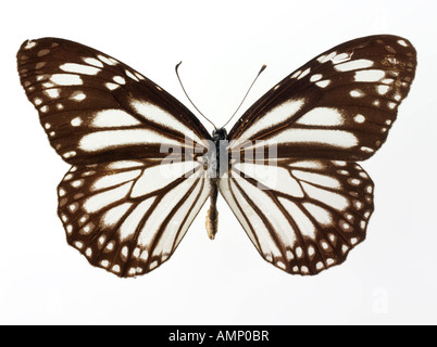 top shot plan view of a Nymphalidae butterfly, opened winged, against a white background in a studio - Stock Photo
