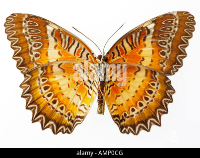 top shot plan view of a Halliconiini fritillary butterfly, opened winged, against a white background in a studio - Stock Photo