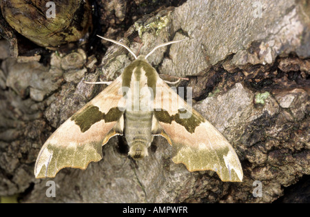 Lime Hawk Moth mimas tiliae at rest on tree bark Norfolk England May - Stock Photo