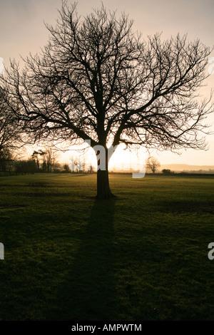 Winter sunset behind Horse Chestnut tree - Stock Photo
